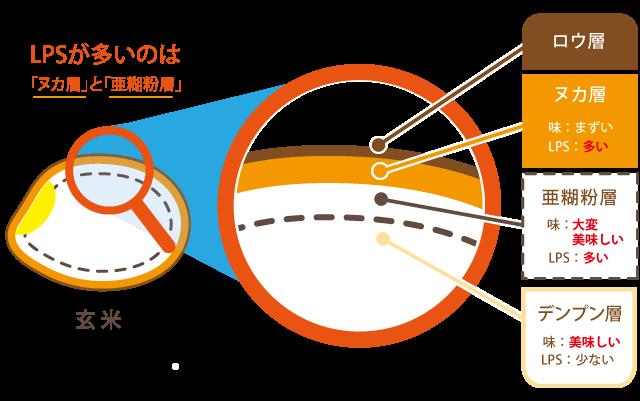 金芽米断面図